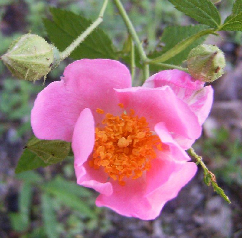 Rose Like a Heart