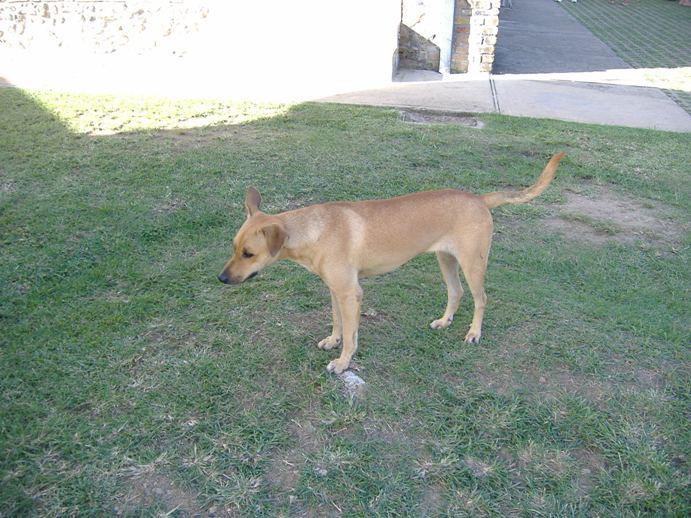 Yellow Dog at Fort King George, Scarborough, Tobago
