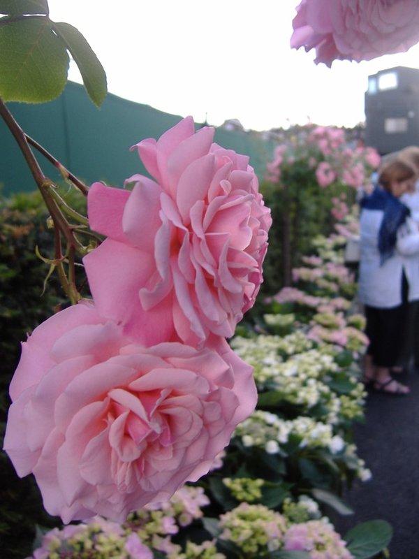 Roses at Wimbledon
