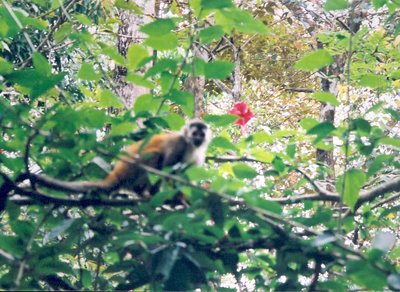 squirrelMonkey.jpg