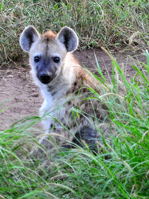 spotted hyena in Kruger Park, South Africa