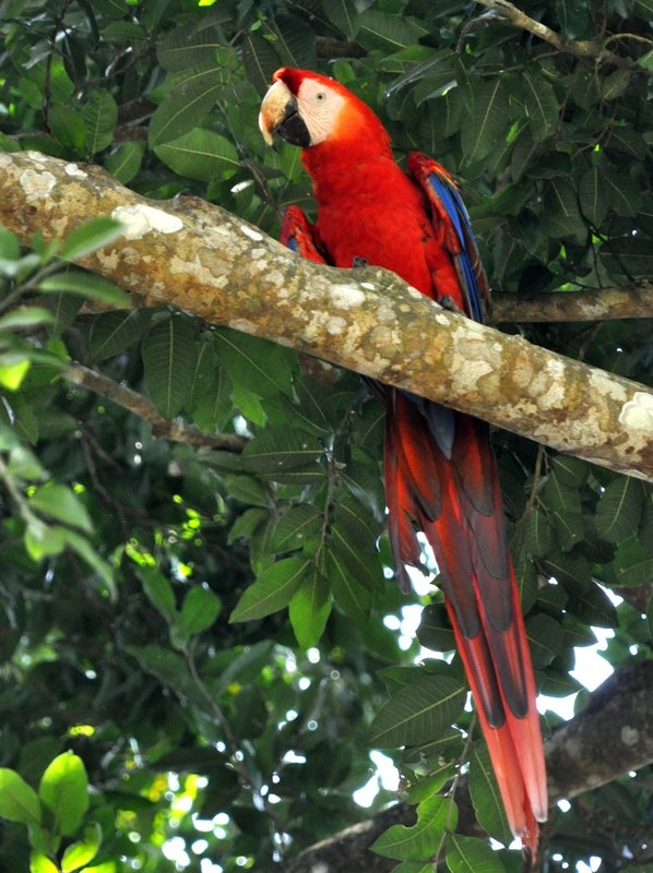 Scarlet Macaw at Copan Ruinas