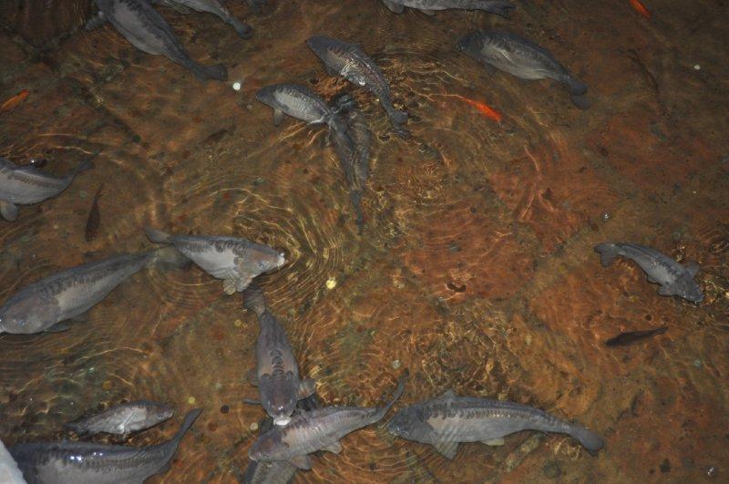 zisterne-fische