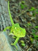 Green Chameleon in Etosha