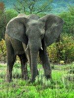 young elephant bull in Etosha