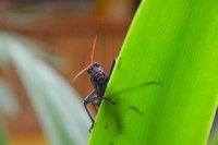 Mr. Locust from Costa Rica