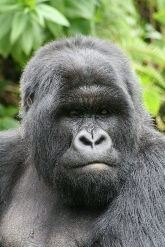 Blackback Mountain Gorilla