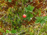Cloudberry growing but not yet ripe