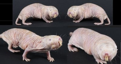 naked_mole_rat.jpg