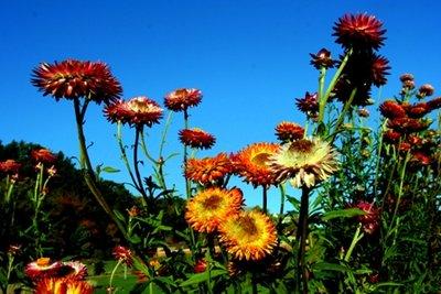 straw_flowers.jpg