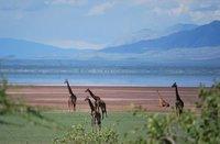 giraffes in the Rift Valley.. Lake Manyara
