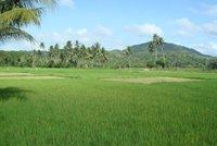 Rice paddies in Bohol