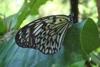 Butterfly - Butterfly garden Bilar - Bohol