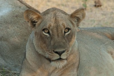 Lioness in South Luangwa National Park, Zambia.
