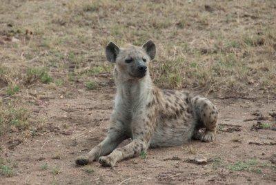 Serengeti hyena.