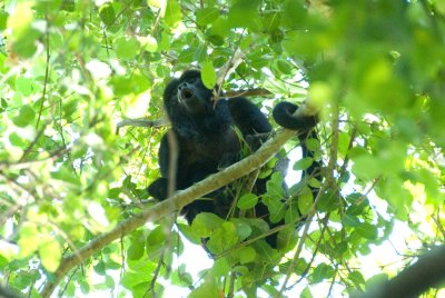 Howler monkeys make a loud and spooky scream during sunrise and sunset.