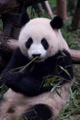 Giant Panda Bears are very gentle animals. They spend most of their day eating bamboo and resting.