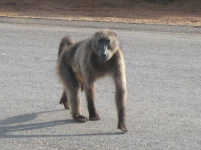 This was the baboon that was in our car.