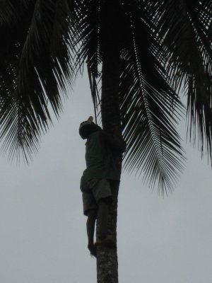 A worker climbs up a coconut tree to get the goods.