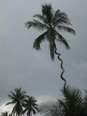 Crazy tree, Zanzibar.
