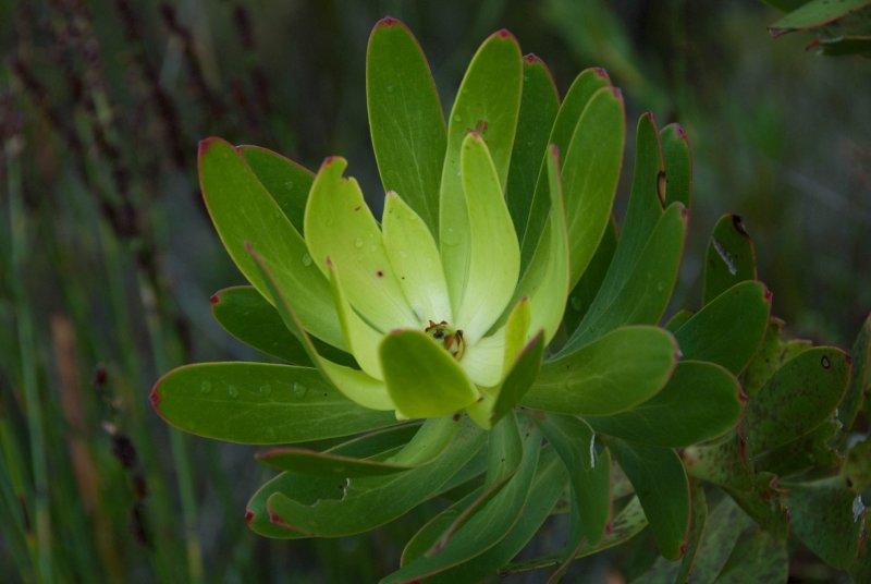 Hermanus, green flower