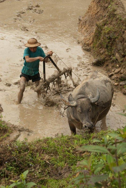 Sapa dirty farmer with buffalo
