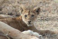 Serengeti lioness