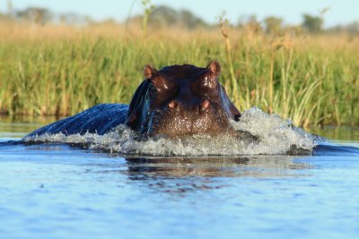 Angry Hippo that charged for us! Scarey moment!