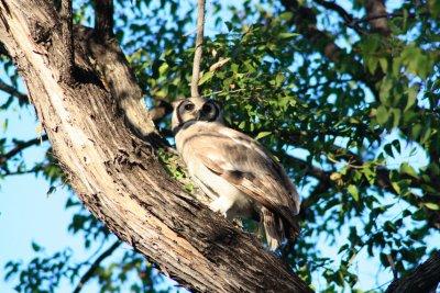 Giant_Eagle_Owl.jpg
