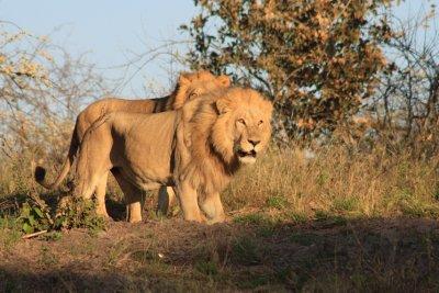 Two_male_lions.jpg