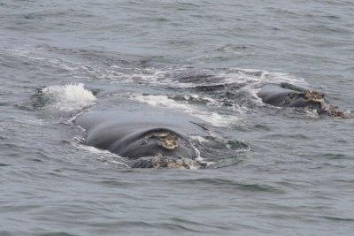 Whales_Hermanus.jpg