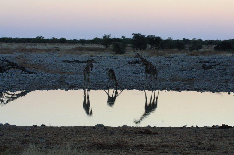 Giraffe at the night water hole - Etosha