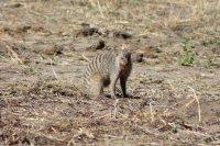Bandit Mongoose