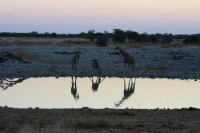 Giraffe at the night water hole - Etosha