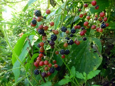 Andean_blackberries.jpg