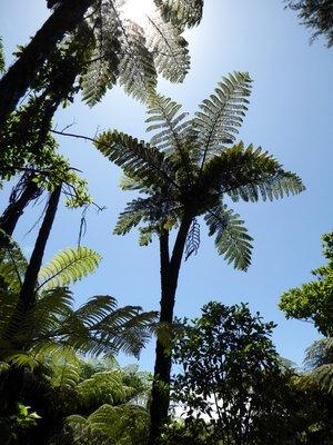 Australian_tree_fern.jpg