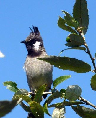 Crested_bird.jpg