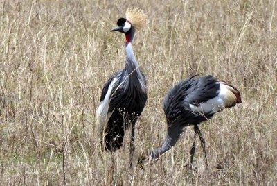 Crown_cranes.jpg
