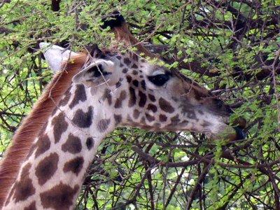 Giraffe_eating.jpg