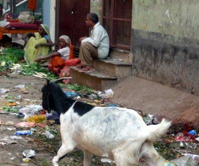 Goat_in_garbage.jpg
