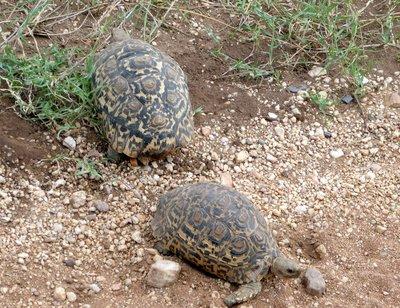 Leopard_tortoise.jpg