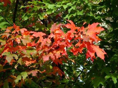 Maple_Leaves.jpg
