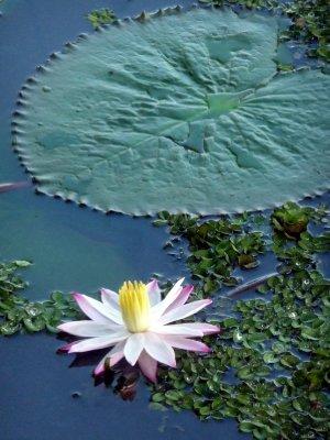 Waterlily.jpg