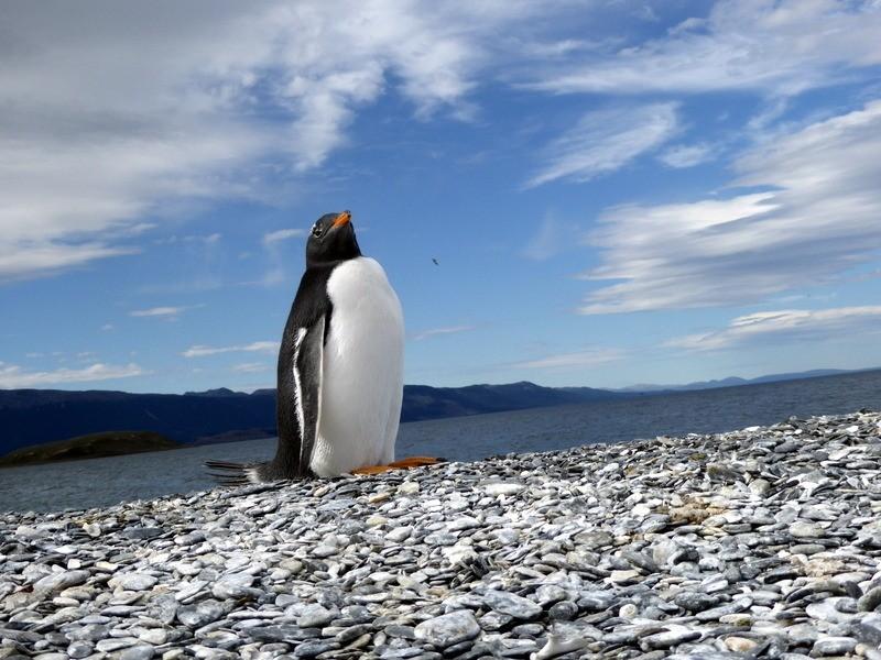 Gentu penguin