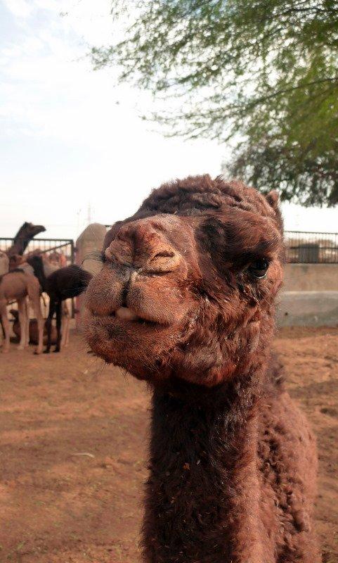 large_Baby_camel.jpg