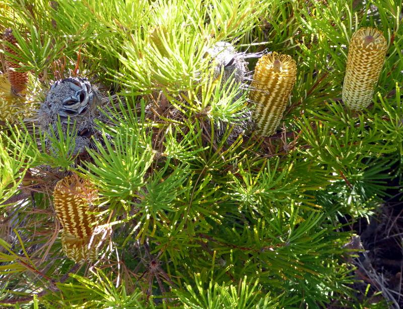 large_Banksia.jpg