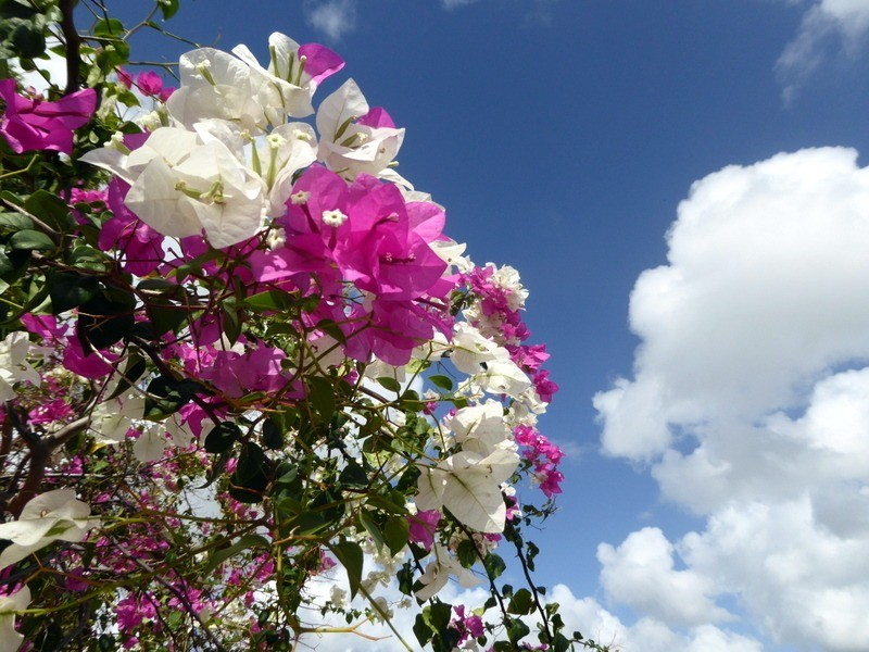 large_Bougainvillea.JPG