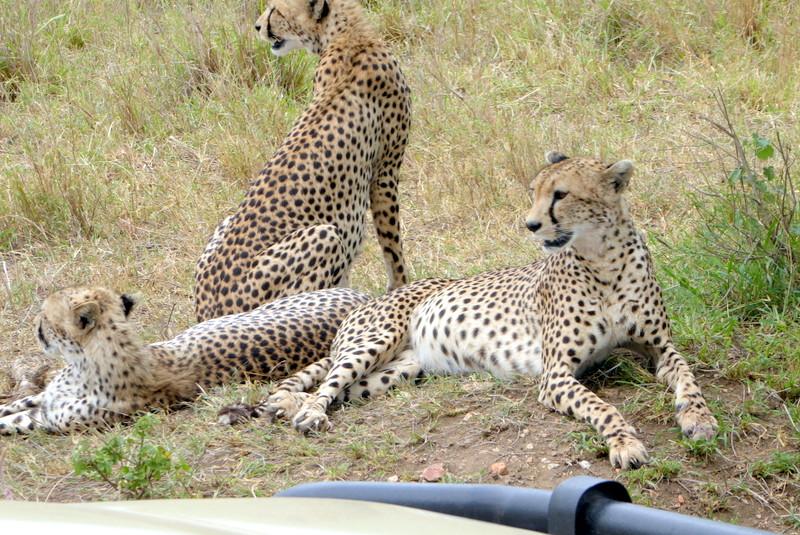 large_Cheetahs.jpg