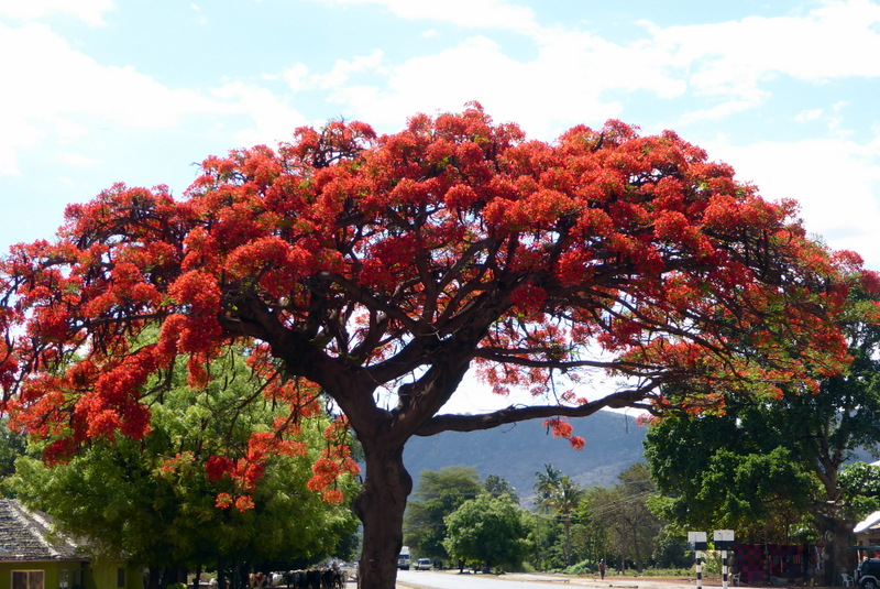 large_Flame_tree.jpg