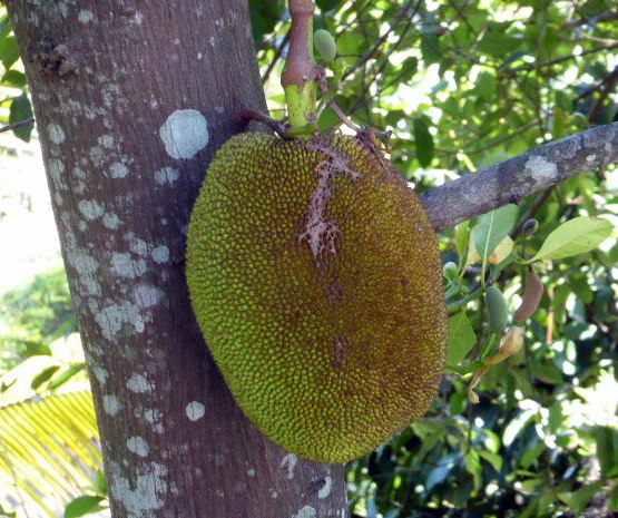 large_Jack_fruit.jpg